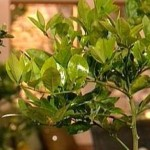 meyer-lemon-trees