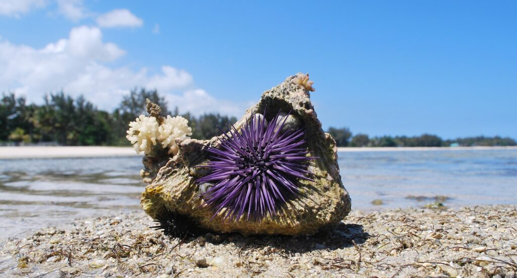 sea urchins are among the lesser-known dangers of swimming